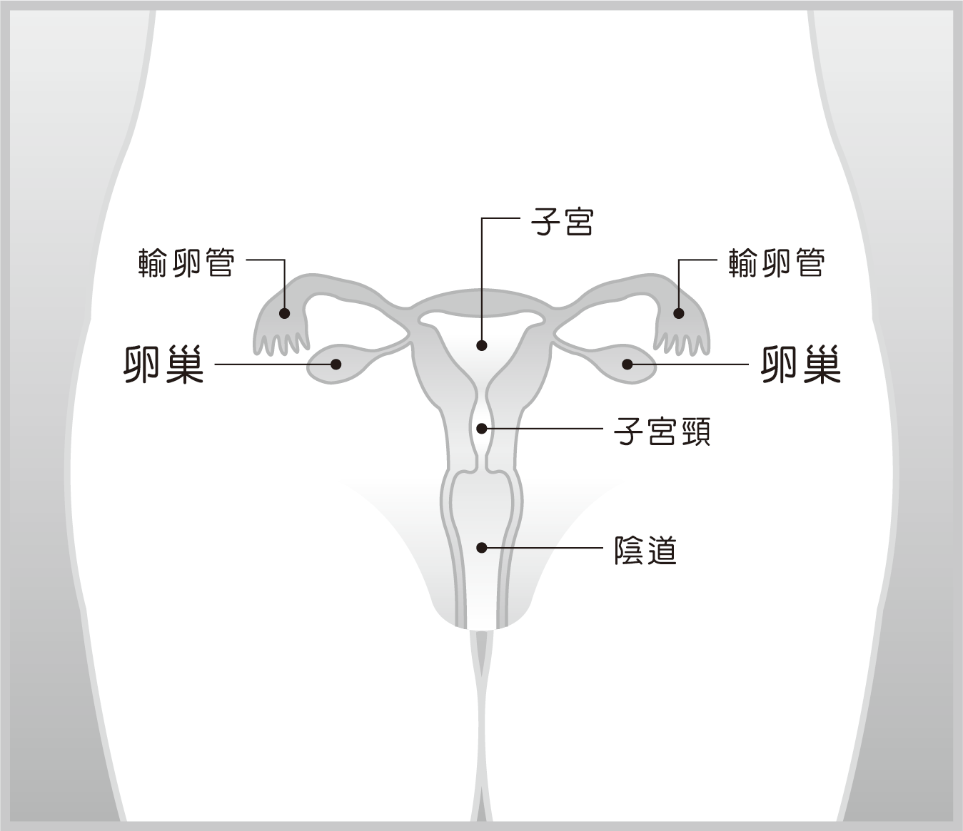 卵巢結構示意圖