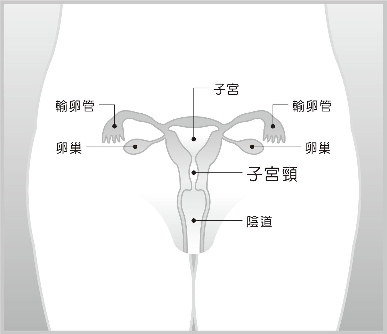 子宮結構示意圖