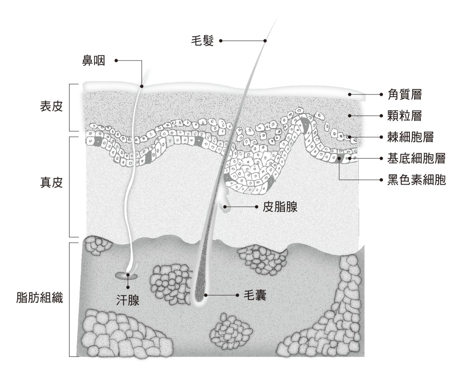 皮膚結構示意圖