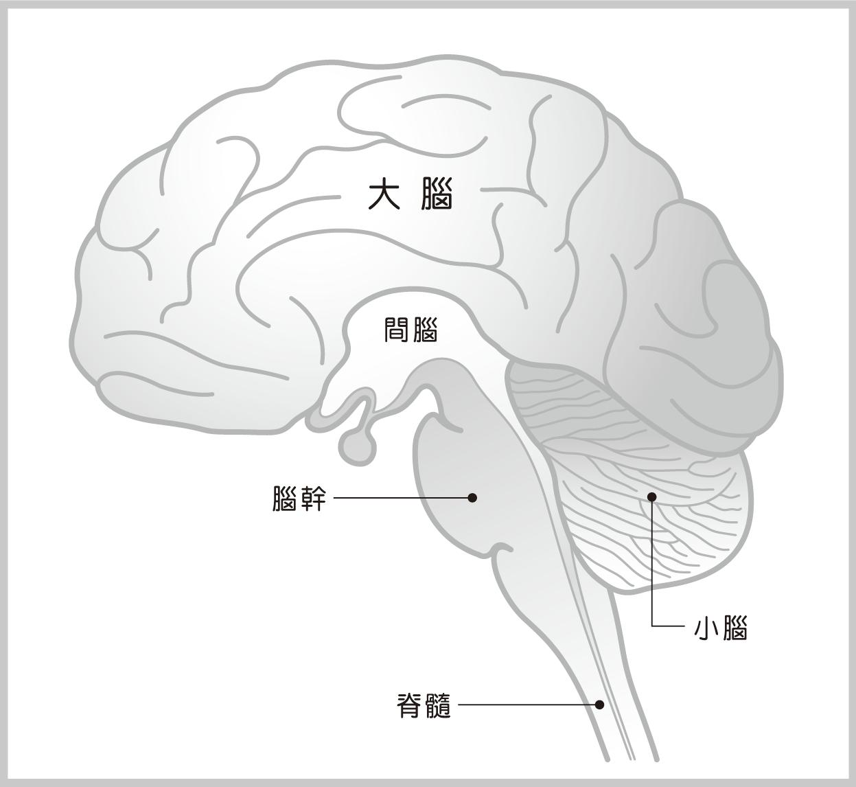 腦部結構示意圖